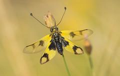 Keleti rablópille (Libelloides macaronius) (Torok_Bea) Tags: keletirablópille libelloidesmacaronius rablópille wonderful wild wildanimal wildlife beautiful amazing awesome lovely lovenatur ascalaphusmacaronius neuroptera fokozottanvédett beutiful nikond7200 nikon sigma150mm pilisihegység pilismountain csodás insect
