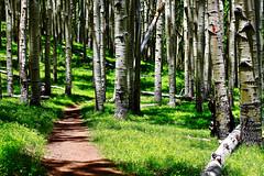 Aspen Path (quantum-natura) Tags: forest aspen aspens tree trees bark green grass texture nature naturephotography canonphotography canon landscape hiking trail outdoors arizona