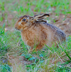DSC5340  Hare.... (Jeff Lack Wildlife&Nature) Tags: hare hares animal animals mammal wildlife woodlands wildlifephotography jefflackphotography farmland fields forestry glades grasslands countryside norfolk nature