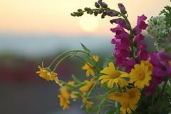 Wildflowers at Sunset (pasquale di marzo) Tags: flowers fiori selvatici montagna viggiano basilicata esterno colore macro