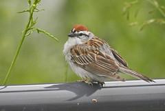 Chipping Sparrow - Groveland - © Candace Giles - Jun 20, 2019