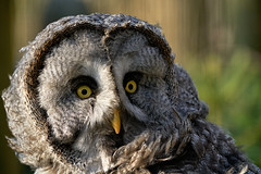 Der Bartkauz - Great Gray Owl (Strix nebulosa) (W_von_S) Tags: bartkauz greatgrayowl owl eule eyes federn feather bird portrait vogel animal tier face gesicht natur nature focus fokus wvons werner sony sonyilce7rm2 outdoor poing wildpark wildlifepark ebersberg