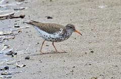 Spotted Sandpiper - Irondequoit Bay Outlet - © Candace Giles - Jun 21, 2019