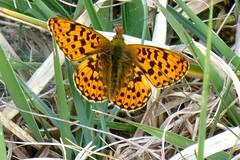 Pearl Bordered Fritillary, Hampshire, UK (east med wanderer) Tags: england hampshire uk newforestnationalpark boloriaeuphrosyne butterfly insect nationalpark
