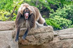 The Lip Flip (helenehoffman) Tags: africa lipflip africarocks theropithecusgelada conservationstatusleastconcern semienmountains mammal gelada grass oldworldmonkey monkey sandiegozoo ethiopianhighlands animal