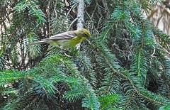 Pine Warbler - Mendon Ponds - © Candace Giles - Jun 22, 2019