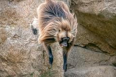 Pounce (helenehoffman) Tags: africa africarocks theropithecusgelada conservationstatusleastconcern semienmountains mammal gelada grass oldworldmonkey monkey sandiegozoo ethiopianhighlands animal