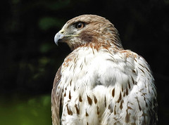 Red-tailed Hawk - Mendon Ponds - © Candace Giles - Jun 22, 2019