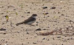 Bank Swallow - Irondequoit Bay Outlet - © Dick Horsey - Jun 21, 2019