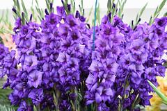 Blue Gladioli (Bri_J) Tags: rhs chatsworthflowershow2019 chatsworthhouse edensor derbyshire uk chatsworth flowershow nikon d7500 blue gladioli flowers