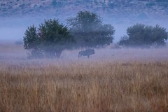 Break of dawn (http://www.guidogavazzi.it/englishome.html) Tags: nature africa south safari wildlife outdor blue wildebeest african animal travel