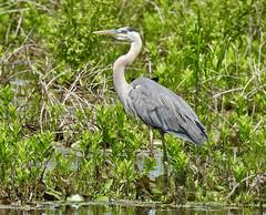 Great Blue Heron - Mendon Ponds - © Candace Giles - Jun 22, 2019