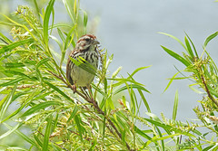 Song Sparrow - Irondequoit Bay Outlet - © Candace Giles - Jun 21, 2019
