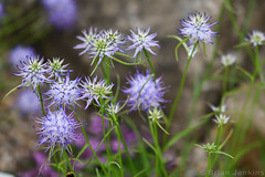 Blue Tipped Flowers (Bri_J) Tags: rhs chatsworthflowershow2019 chatsworthhouse edensor derbyshire uk chatsworth flowershow nikon d7500 blue flowers bokeh