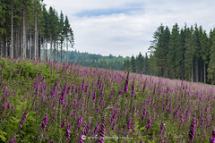 Foxglove Scene W (Gavin Vella) Tags: foxgloves floxglove scenery landscape nature south wales forestry clearing flowers wild flower naturephotography
