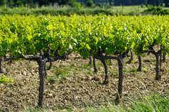 France:Southern Rhône Valley Vineyard (Enemy8028) Tags: france lerhône 隆河 法南 法國 southernrhônevalley châteauneufdupape 教皇新堡 cotesdurhone vineyard avignon