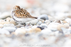 Reposando entre piedras (Fotografias Unai Larraya) Tags: animales correlimoscomún fauna salvaje playa naturaleza aves ngc limicolas