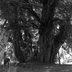 Yew (4foot2) Tags: stmargaretthequeenofscotlandchurch buxted yew tree taxusbaccata taxus churchyard church graveyard graves analogue film filmphotography 120film mediumformat hasselbladski kiev kiev88cm 88cm киев88cm ukrainiancamera flektogon50mm flektogon carlzeissjena carl zeiss jena hp5plus ilford ilfordhp5plus kodakhc110 hc110 kodak bw blackandwhite monochrome mono 2019 fourfoottwo 4foot2 4foot2flickr 4foot2photostream