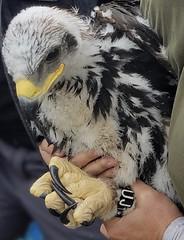 Anglų lietuvių žodynas. Žodis golden eagle reiškia kilnusis erelis lietuviškai.