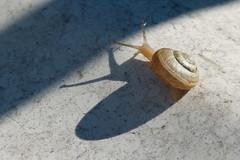 Light&Shadow (evisdotter) Tags: lightshadow ljusskugga snail snigel snäcka blötdjur nature sooc
