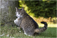 Scratching ... (Jan Gee) Tags: poeka cat katze chat poes poesje tabby grey gray garden tree tuin boom scratching sharpening nail nails gato gatto gata