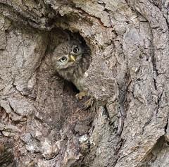 Little Owl Chick (Steve Ball Photography) Tags: little littleowl owl countryfile cambridgeshire wildlife bird british birdofprey bbc springwatch autumnwatch nature ngc uk rspb