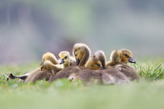 Goslings chilling (Phátography 分店) Tags: goslings california canon canoneos7dmarkii canoneftelephoto200mmf20 goose geese gosling canadagoose canadageese legglake legglakepark outdoor park wildlife waterfowl whittiernarrowsrecreationarea