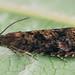 Grapholita janthinana - Hawthorn leafroller - Листовёртка плодовая