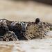 Eudemis porphyrana - Листовёртка порфировая