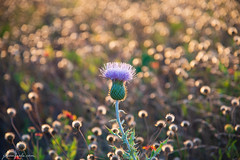balcones canyonlands wildflower thistle close-up (Jason Frels) Tags: balconescanyonlandsnationalwildliferefuge balconesnationalwildliferefuge evening hiking nikond750 photography summer texasthistle bokeh centraltexas closeup goldenhour hikingtrails nikon wildflowers