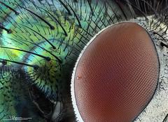Lucilia sericata (quenoteam) Tags: mitutoyo stacking macro closeup fly