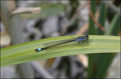 Damselfly at rest (catb -) Tags: damselfly insect dublin ireland nature bluetaileddamselfly ischnuraelegans