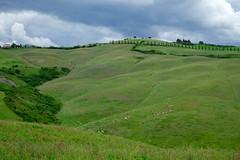 HERD OF SHEEP (LitterART) Tags: toskana toscana tuscany schafe sheep herd italia nikond800