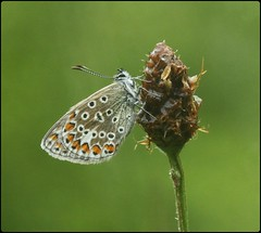 Common Blue in the rain - Prestbury Hill (glostopcat) Tags: butterfly insect invertebrate macro rain summer june glos butterflyconservation prestburyhillnaturereserve commonbluebutterfly