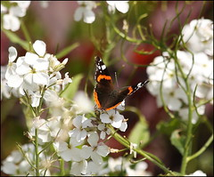 Red Admiral butterfly (catb -) Tags: dublin ireland butterfly insect redadmiral vanessaatalanta nature