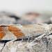 Epinotia cruciana - Willow tortrix - Листовёртка ивовая почковая