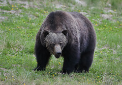 Male Grizzly Bear (ashockenberry) Tags: ashleyhockenberryphotography animal wildlife wildlifephotography wild wilderness west eco reserve travel tourism forest beautiful beauty vacation landscape majestic mountains mountain naturephotography nature natural native rocky bruin bear grizzly ursus boar banff national park alberta