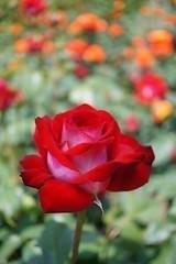 #red #rose #ros #röd (mats.adler) Tags: red röd ros rose