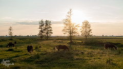 The extreme Weather we are experiencing now is just the Beginning! (judithrouge) Tags: horses sundown trees pferde sonnenuntergang gegenlicht contrejour sun sonne abendlicht abendstimmung evening eveninglight koppel paddock bäume