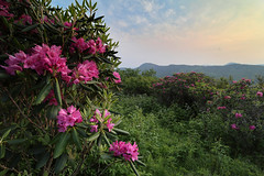 Sam Knob Catawbas (csnyder103) Tags: samknob catawbarhododendrons northcarolina blueridge blueridgeparkway spring evening canoneosm5 canonefm1122