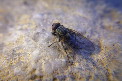 Fly on the wash (JBM.photography) Tags: flyaway flies bugs dried sand rock dna spirit color rx0 rx0m2 rx0mii sonyrx0m2 sonyrx0ii sony closeup life water desert wash macro bug insect nature fly