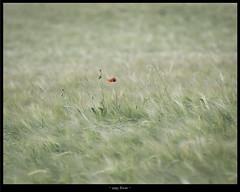 poppy flower (christian.tengeler) Tags: poppy flower field green cornfield nikon 70300mm f4556 g
