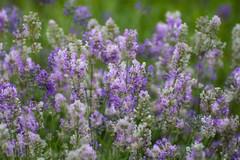 Lavender Frosty. (Omygodtom) Tags: trail path nikkor natural nature d7100 digital usgs tamron texture bokeh dof lavender flower flora flickriver
