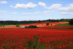 Poppy Field (davva73) Tags: poppy poppies flower wildflower landscape summer nature worcestershire bewdley uk greatbritain canon canoneos countrylife