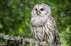 Surveyor (matthewolsonphotography.com) Tags: barredowl owl owls strixvaria bird birdwatching birding wildlife birds birdsofprey