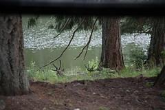 AU3A2800 (MegachromeImages) Tags: northwest trek forest river mountain black bear grizzly wolf raccoon otter beaver badger barn owl turkey vulture golden eagle roosevelt elk moose bighorn sheep caribou blacktail deer bison buffalo tram freeroam freerange park zoo