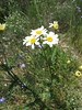 Tanacetum corymbosum (Gabriel Terraz) Tags: serres hautesalpes france asteraceae tanacetum