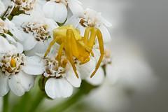 Gehöckerte Krabbenspinne | Crab spider (Thomisus onustus) (Sven (fishpool.de)) Tags: kaiserstuhl makro spinne tier postfocus helicon focus crab spider gehöckerte krabbenspinne thomisus onustus