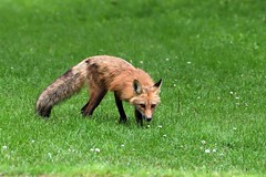 Fur Coat (Photos By JM) Tags: fox humberbaypark nature