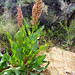 Wild Rhubarb  rumex hymenosepalus